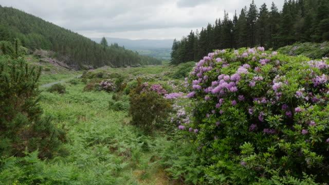 ireland the vee rhododendron covered slopes - liten skog bildbanksvideor och videomaterial från bakom kulisserna