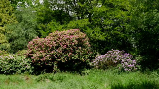 ireland woodland with rhododendron shrub - bush stock videos & royalty-free footage