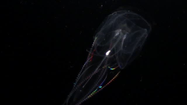 iridescent comb jelly (ctenophora) drifts in dark ocean, hawaii - pacific ocean stock videos & royalty-free footage