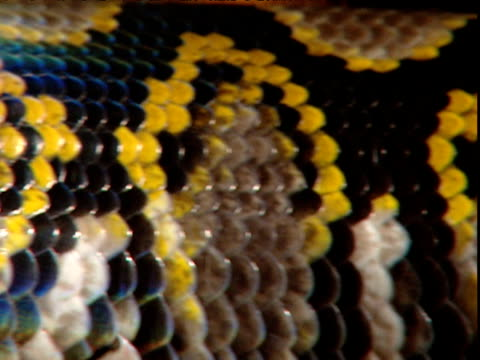 iridescent scales of reticulated python as it slithers past, south east asia - tierhaut stock-videos und b-roll-filmmaterial
