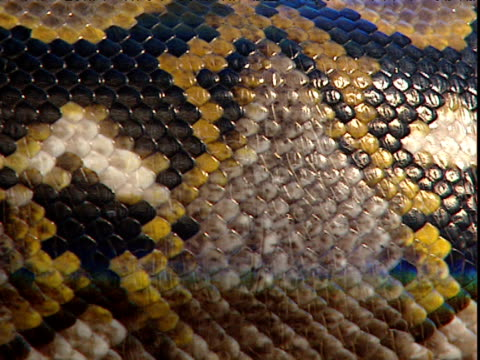 Iridescent scales of reticulated python as it slithers past, South East Asia