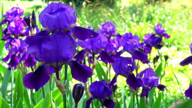 iris - 4k - iris plant stock videos & royalty-free footage