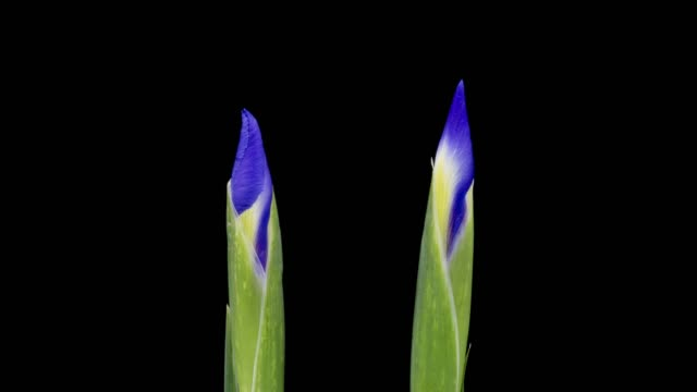 iris blooming time lapse - iris plant stock videos & royalty-free footage