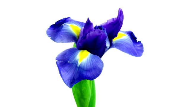 vidéos et rushes de fleur iris - fleurs