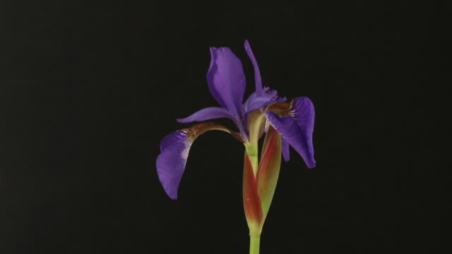 vidéos et rushes de iris (iridaceae) closing, black background, timelapse reversed. - violet