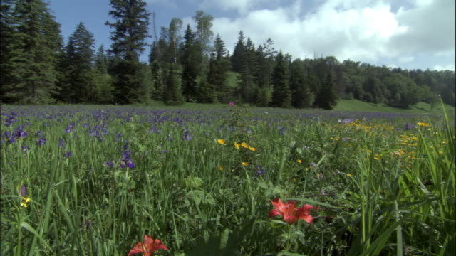 iris flowers (iris setosa) and lilies (lilium dauricum) in meadow, changbaishan national nature reserve, jilin province, china - wildflower stock videos and b-roll footage
