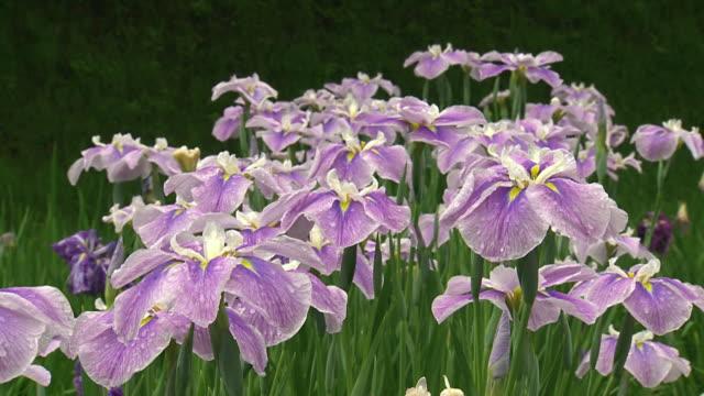 iris flowers swaying in the wind - iris plant stock videos & royalty-free footage