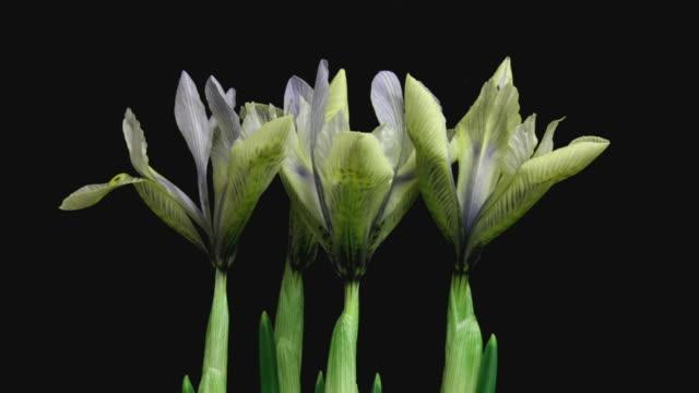 iris lydia blooming hd - iris plant stock videos & royalty-free footage