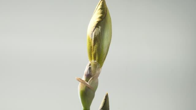 t/l iris 'rajah' (bearded iris) opening, medium shot - knopp växters utvecklingsstadium bildbanksvideor och videomaterial från bakom kulisserna