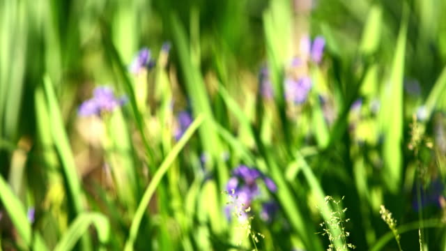 irises, iris prismatica, blooming in the small pond in poconos, pennsylvania, usa. the zoom effect in the video - water plant stock videos and b-roll footage