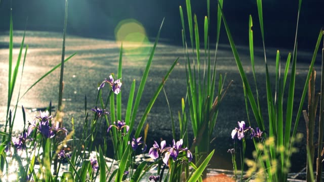 irises, iris prismatica, blooming in the small pond in poconos, pennsylvania, usa - wildflower stock videos and b-roll footage