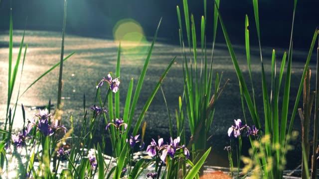 vidéos et rushes de iris prismatica, floraison dans le petit étang de poconos, pennsylvanie, états-unis - fleur sauvage