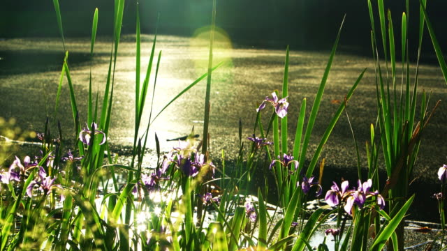 irises, iris prismatica, blooming in the small pond in poconos, pennsylvania, usa. focus moves from the grasses on the foreground to irises in the background. - water plant stock videos and b-roll footage