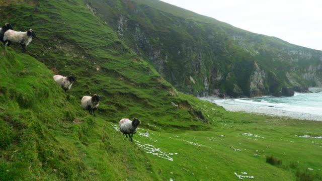 Irische Blackface Schafe Modellierung auf Sea Cliff