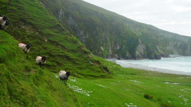irish blackface sheep modelling on sea cliff - flock of sheep stock videos & royalty-free footage