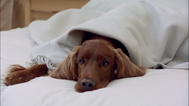 irish setter lying under blanket on bed - blanket stock videos and b-roll footage