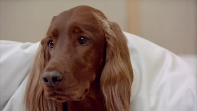 irish setter lying under covers on bed - duvet stock videos & royalty-free footage