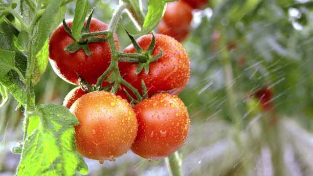 slo mo irrigating red tomatoes - spraying stock videos and b-roll footage