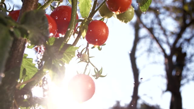 SLO MO Irrigating Tomatoes