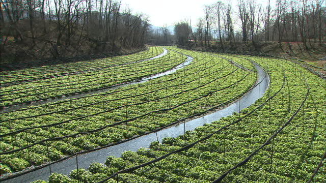 irrigation ditches run between rows of wasabi. - wasabi stock videos and b-roll footage