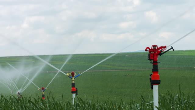 Irrigation in Field of growing wheatgrass