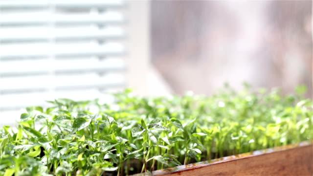 Irrigation seedling of pepper. Seedlings on the window sill.