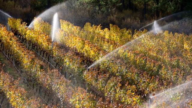 Irrigation Sprinkler Merlot Vineyard Okanagan Valley