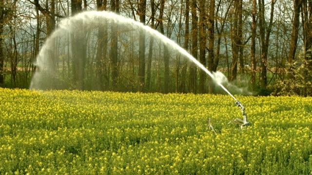 Irrigation Sprinkler Watering Rapeseed Field