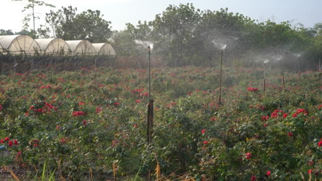 ローズガーデンの灌漑スプリンクラー - グリーンハウス点の映像素材/bロール