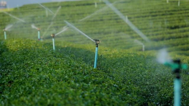 Irrigation Sprinklers system watering tea field