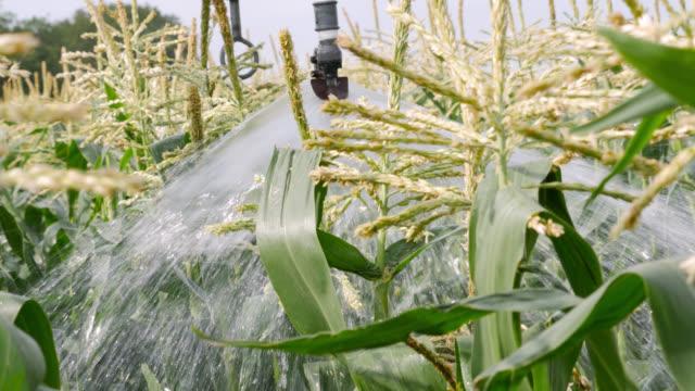 irrigation system waters sweetcorn plants, uk - crop stock videos & royalty-free footage