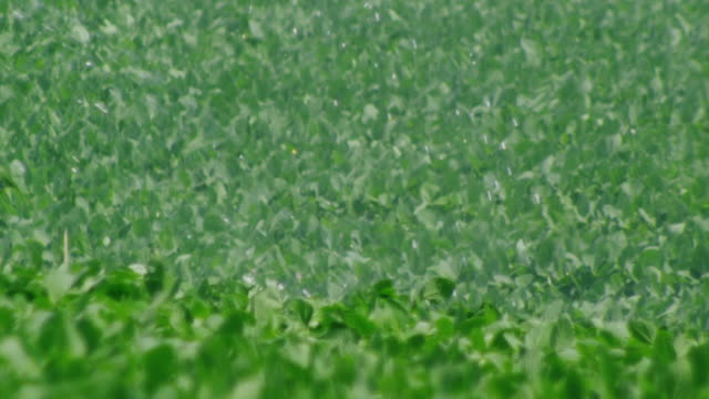 irrigation water falls on green lush soybean field - soybean stock videos and b-roll footage