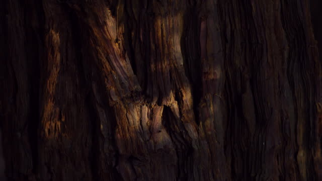 sequoia - sequoya (sequoia sempervirens) is the sole living species of the genus sequoia in the cypress family cupressaceae (formerly treated in taxodiaceae). - sequoia sempervirens stock videos and b-roll footage