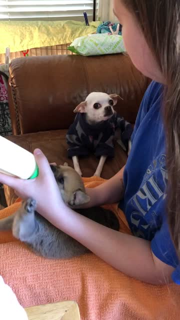 """stockvideo's en b-roll-footage met """"is there anything cuter than a baby animal? dog-persons would agree how adorable is to watch the puppy being fed with a bottle. this video will make... - genomen met mobiel apparaat"""