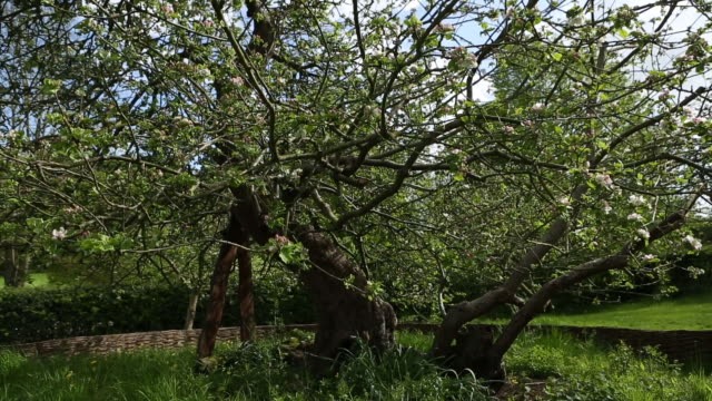 vídeos y material grabado en eventos de stock de isaac newton's famous apple tree - árbol de hoja caduca