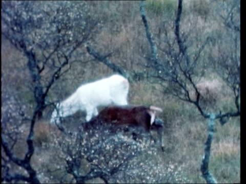 white albino deer found SCOTLAND Isle of Aran GV Hills Zoom into walker with dog GV Pan red deer running LR BV Game keeper and dog MS Albino deer...
