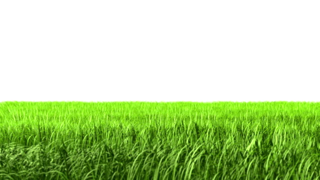 isolated grass - grass family stock videos & royalty-free footage