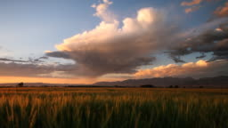 isolated rain storm over wheat field at sunset