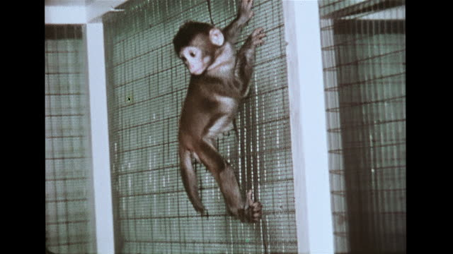 vs isolation reared monkey w/ moving maternal surrogate climbing up pole down cage side vs second monkey w/ stationary surrogate displaying rocking... - surrogate stock videos & royalty-free footage