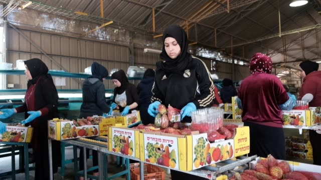 Israeli Arab female workers organize prickly pears into cardboard boxes at the packing house of Orly Cactus Farm established in 1975 which cultivates...