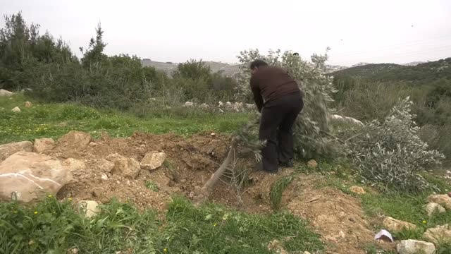 israeli military bulldozers destroyed two acres of farmland and dozens of olive trees in the west bank city of hebron on january 13, 2021. at least... - hebron west bank stock videos & royalty-free footage