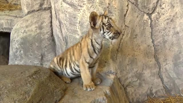 istanbul's first bengal tigers, who were born on may 12, welcomed its visitors at aslan park in tuzla viaport marina on july 28, 2019. aslan park,... - 12 13 years stock videos & royalty-free footage