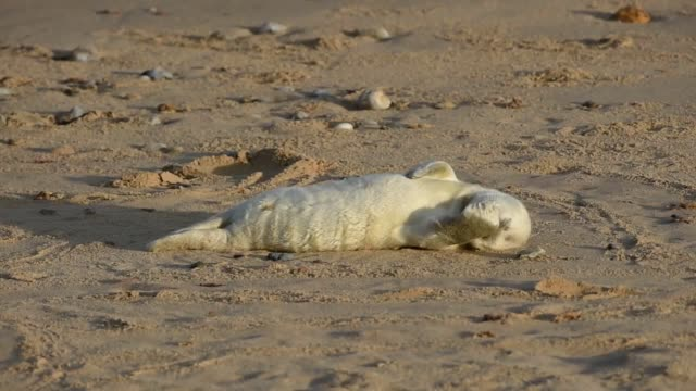 it has been a recordbreaking year for the number of grey seal pups born around the east coast of britain new record totals have been recorded at... - horsey england bildbanksvideor och videomaterial från bakom kulisserna