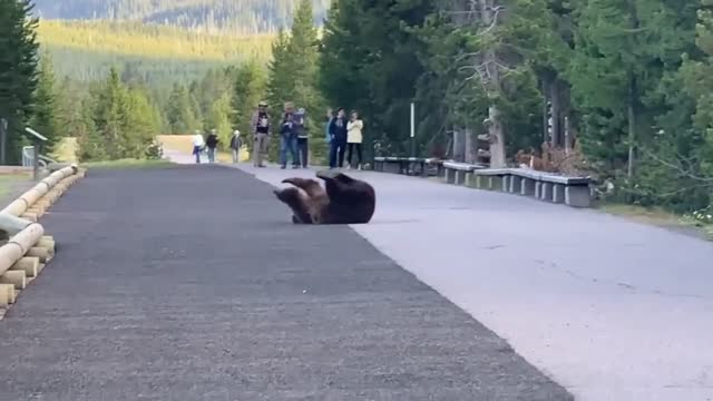 """vidéos et rushes de it looks like this bear appears to be """"dancing"""" for no reason at all! these people were just walking in a popular spot in yellowstone and they saw... - dancing bear"""