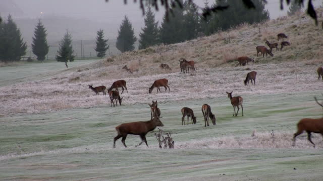 italy, belluno, cansiglio forest, herd of deer in autumn - bugle stock videos and b-roll footage