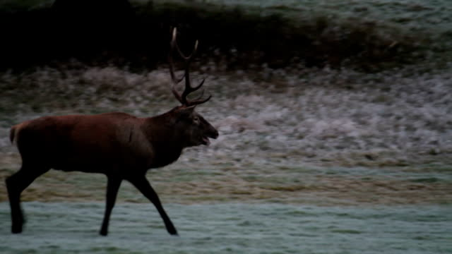 italy, belluno, cansiglio forest, male of deer - 牡鹿点の映像素材/bロール