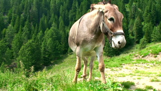 italy, borgo valsugana, donkey - donkey stock videos & royalty-free footage