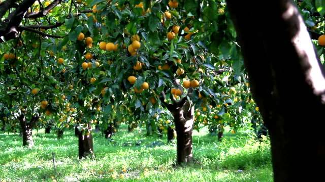 italy, calabria, citrus harvesting - citrus fruit stock videos & royalty-free footage