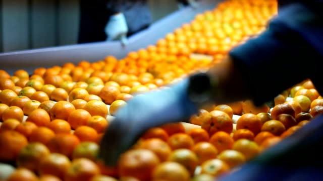 italy, calabria, citrus harvesting - production line stock videos & royalty-free footage
