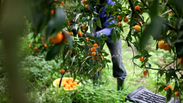 italy, calabria, citrus harvesting - tangerine stock videos and b-roll footage